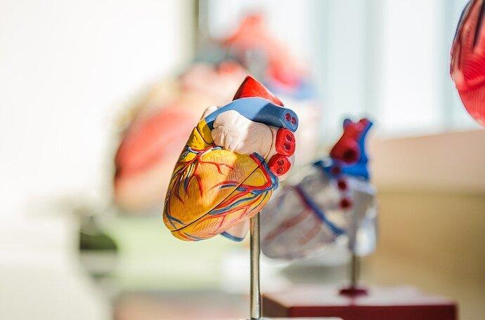 External morphology of heart